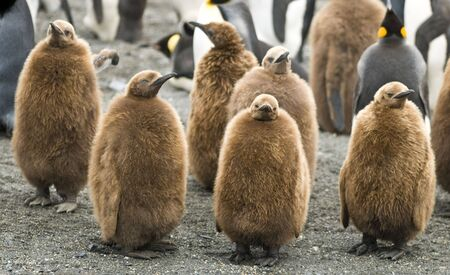 Group of king penguin chicks - South Georgia photo