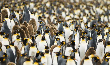 pinguinera: Detalle de la colonia de ping�inos rey - Georgia del Sur