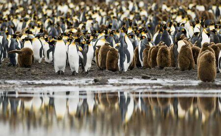 pinguinera: Colonia de ping�inos rey con el agua reflexi�n - Georgia del Sur Foto de archivo