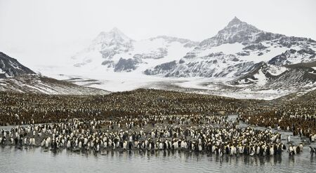 King penguin colony - South Georgia (zoomed out) photo
