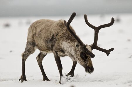 introduced: Reindeer in the snow on South Georgia Stock Photo