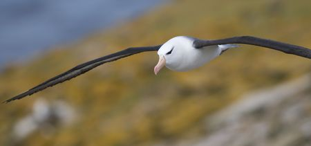 Albatross in flight Stock Photo - 4456690
