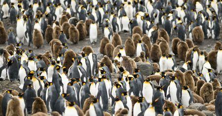 King penguin colony - South Georgia Standard-Bild