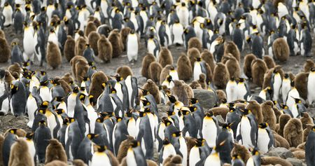 penguin colony: King penguin colony - South Georgia Stock Photo