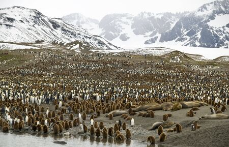pinguinera: Colonia de ping�inos rey en las monta�as de fondo - Georgia del Sur