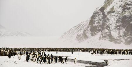 pinguinera: Colonia de ping�inos rey en la nieve Foto de archivo