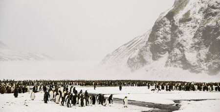 King penguin colony in the snow photo