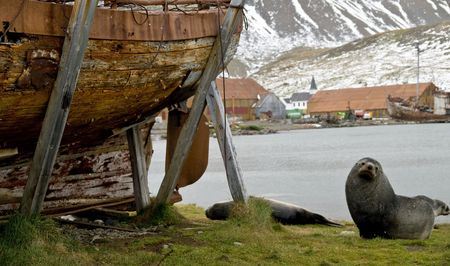 pelage: Antarctic Fur Seal next to a disused whaling boat in the old whaling station at Grytviken, South Georgia. Stock Photo