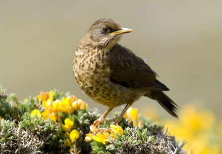thrush: An Austral Thrush perched on some beautiful yellow flowers in the Falkland Islands. Stock Photo