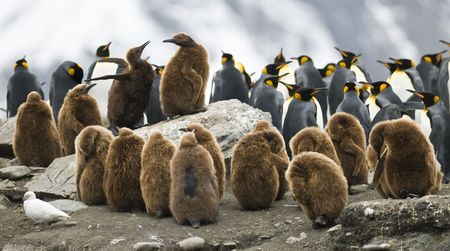 In a crowded colony, the rock these two King Penguin (Oakum Boy) chicks fight over a place on rock with a view. Taken at St. Andrews Bay, South Georgia. photo