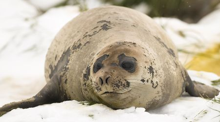 pinniped: A female Southern Elephant Seal lying on the snow in South Georgia. Stock Photo