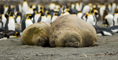 pinguinera: A Macho y Hembra Mirounga leonina tomar su lugar en una playa en frente de una colonia de ping�ino rey.
