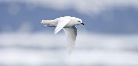 Snow Petrel in Flight Standard-Bild