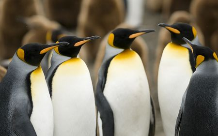 king penguins: A group of King Penguins huddle for a meeting. Stock Photo