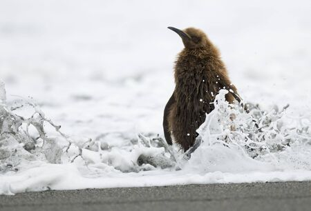 A King Penguin Chick (Oakum Boy) getting splashed by the incoming tide. photo