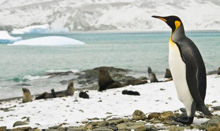 king penguins: A King Penguin staring out over a snowy bay in South Georgia.