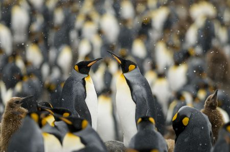 king penguins: A pair of King Penguins in the middle of a colony - South Georgia.