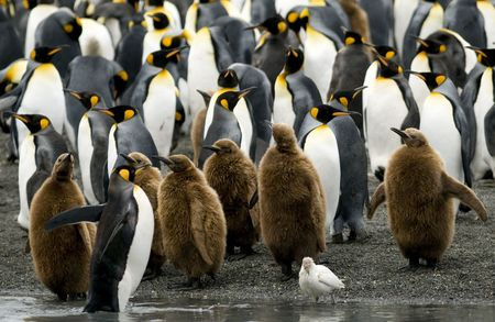 king penguins: A mixed group of King Penguin chicks and adults standing at the waters edge - South Georgia.