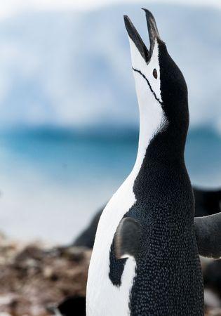 A Chinstrap Penguin facing skywards with an open bill - Antarctic Peninsula. photo