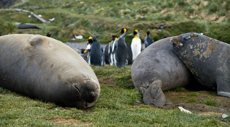 king penguins: Three Elephant Seals resting on the grass near a group of King Penguins, South Georgia.
