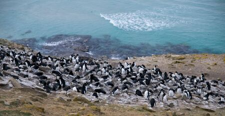 A colony of Rockhopper Penguins and Shags against the backdrop of stunning blue seas - Saunders Island, Falklands. photo