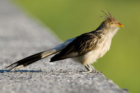 cuckoo: A Guira Cuckoo perched on a wall - Buenos Aires.