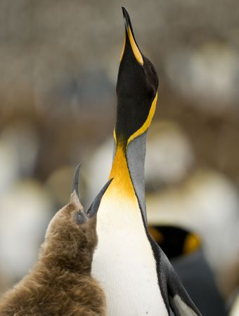 A King Penguin chick begging for food from one of its parents, both with heads held skyward - South Georgia. photo