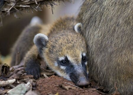 mundi: A Young Coati Mundi resting close to his mothers side - Argentina.