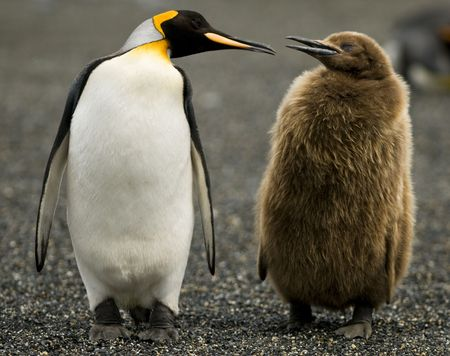 downy: An Adult King Penguin chatting to its downy chick by its side - South Georgia.