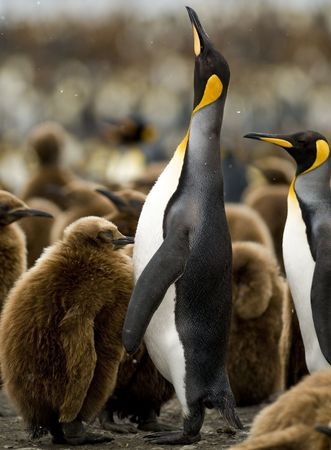 penguin colony: An adult penguin in a sea of chicks, stretching its neck to the sky - South Georgia