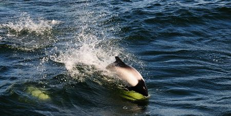 porpoise: A Commersons Dolphin leaping out of a wave - Falkland Islands