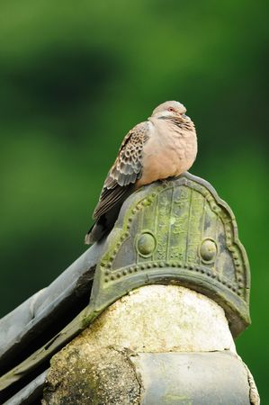turtle dove: An Oriental Turtle Dove perched on the eve of a Korean temple.