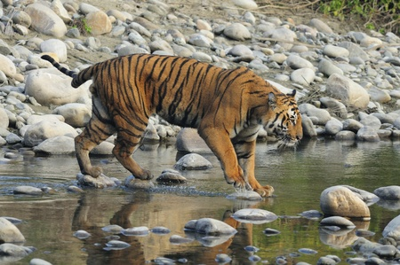 Bengal Tiger Seen in Corbett National Park, India. photo