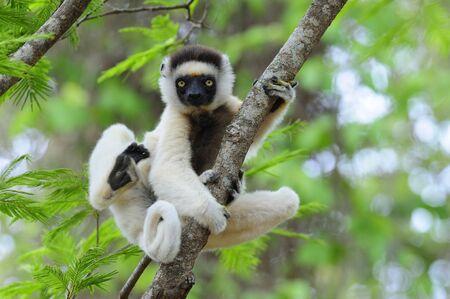 Dancing Sifaka (Lemur) seen in Madagascar Standard-Bild