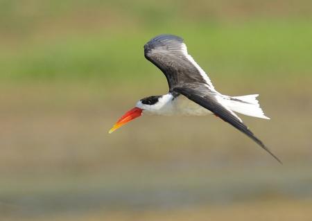 skimmer: Indian Skimmer - Chambal River, India