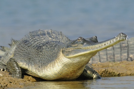 coldblooded: Gharial in India
