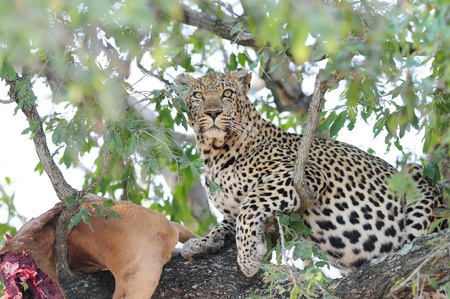 Impala: Leopard in a Tree with its Kill in The Kruger National Park, South Africa
