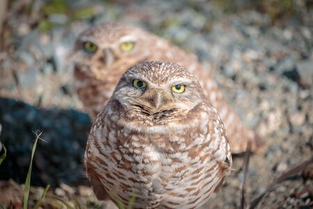 Burrowing Owls Interested