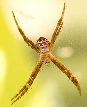 Closeup of a lynch spider, with typical spikey legs, with an out of focus background photo
