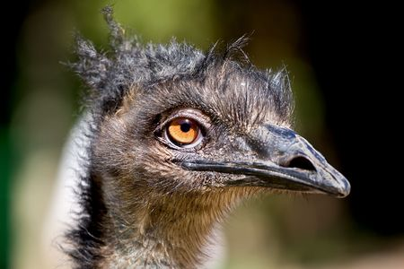 temp�rament: Closeup of an Emu with hairstyle resembling dreadlocks. Emus are the worlds larget birds and can have a ferocious temperament.