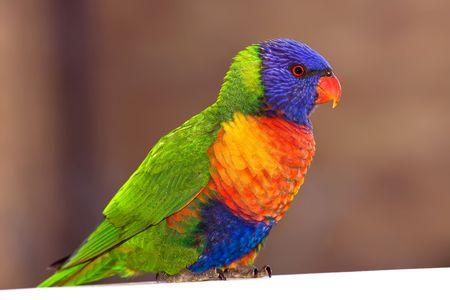 plummage: Vista de un loro salvaje con colorantes plummage impresionante Foto de archivo