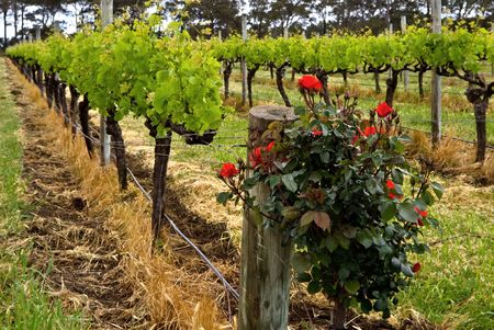 rose bush: View of a row of vines, with a rose bush in the foreground