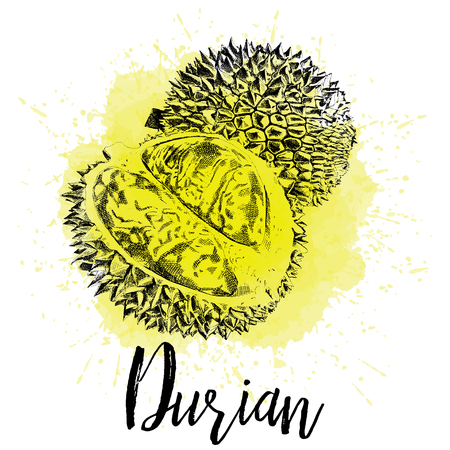 Vector illustration, Musang king Durian