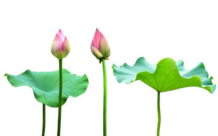 Lotus with buds