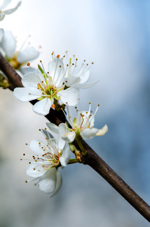 Tree branch with several white yellow blooms. photo