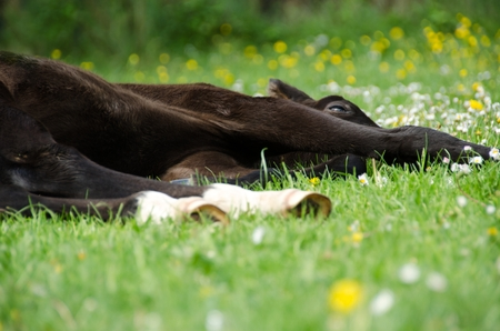 Lying resting brown white foal on green grass with dandelions. photo