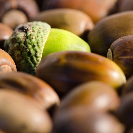 Green acorn among lot of ripe acorns. photo