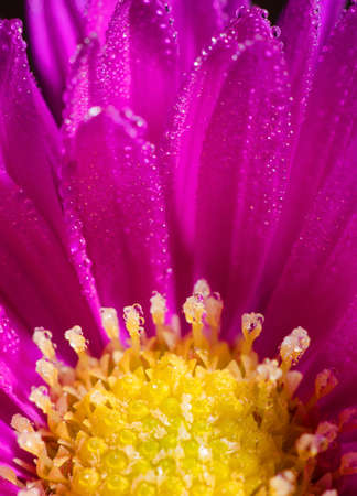 mornings: Detail of purple yellow bloom with mornings dew. Stock Photo