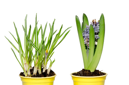 jonquil: Daffodil and hyacinth isolated on white background.