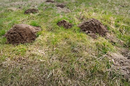 destructive: Damaged park grass by mole, destructive environment problem. Stock Photo